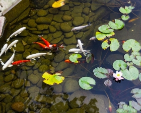 Custom Koi ponds by Anderson Landscaping